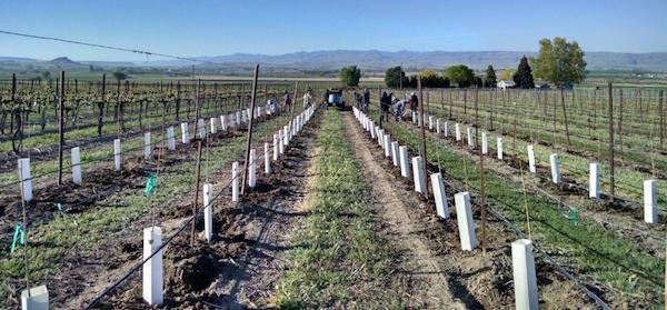 williamson-vineyards-cabernet-sauvignon-planting-spring-2016-beverly-williamson