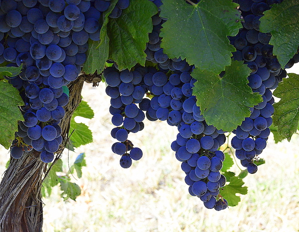 Carmenere awaits harvest for Walla Walla Community College's winemaking program.