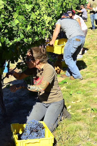 Ari Nickolisen helps harvest 2015 Carménère for her winemaking team at Walla Walla Community College. (Photo by Abra Bennett/Great Northwest Wine)