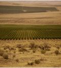 cold creek vineyard courtesy ste michelle wine estates 120x134 - Ste. Michelle calls 2016 harvest biggest, longest for Washington wine