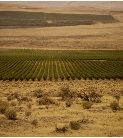 When Ste. Michelle planted 500 acres at Cold Creek Vineyard in 1973,  it doubled the number of acres in Washington at the time. Total plantings for Cold Creek Vineyard are approaching 1,000 acres. (Photo courtesy of Ste. Michelle Wine Estates)