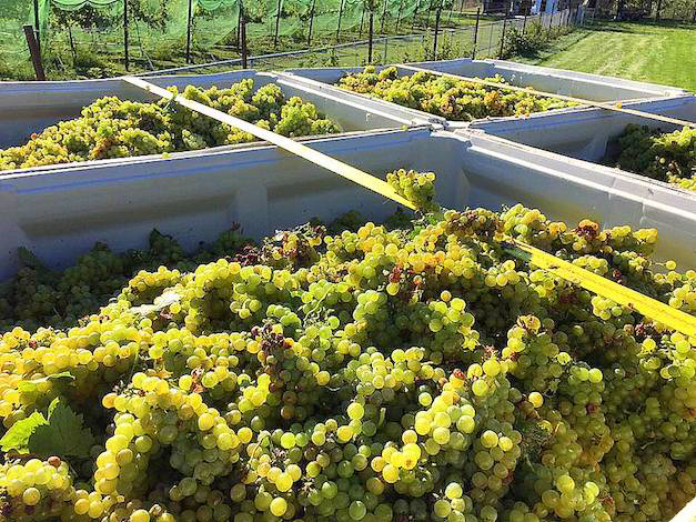 Fresh-picked Muscat Ottonel rests in bins ready to be transported from Red Boar Vineyard to Walla Walla Community College. (Photo by Greg Schnorr/Courtesy of Red Boar Vineyard)