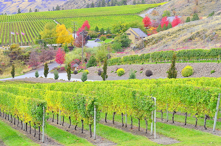 The Gehringer brothers grow grass between their vines to provide nutrients to the root system.