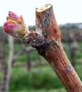 Bud break for the 2017 vintage in the Columbia Valley began during the second week in April. Cabernet Franc was the first to break bud – which is typical for Washington.