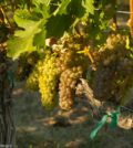 old vine viognier richard duval images 120x134 - Viognier remains a darling in the Pacific Northwest