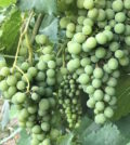 green grapes feature 120x134 - Growers expect Washington wine grape crop to be smaller