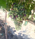 canyon ranch vineyard tempranillo 2017 feature 120x134 - Northwest vineyards track ahead of cooler vintages