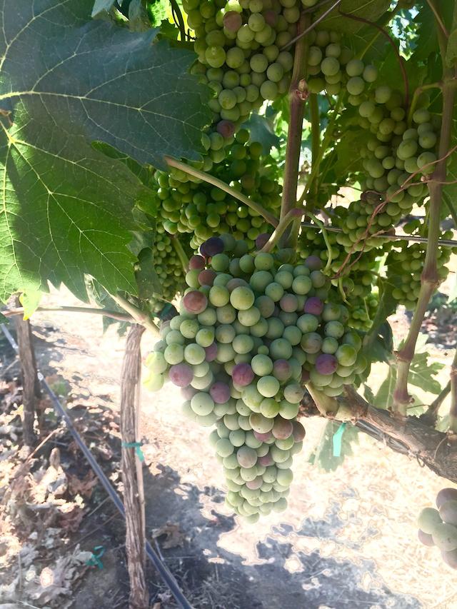 Washington grape dating service
