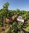 klipsun vineyard syrah richard duval images 120x134 - Syrah flourishes as Washington wine industry's secret weapon