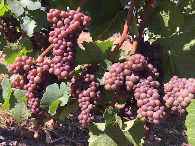 archer vineyard pinot gris 9 1 17 - Little rain in sight for smoke-choked Northwest vineyards