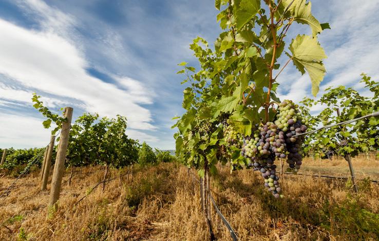 boushey vineyards mourvedre 2014 richard duval images - Northwest vineyards track along 2017 vintage after cool July