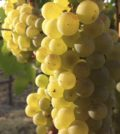 chardonnay 120x134 - America's favorite wine well-represented in Northwest