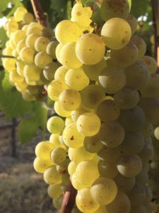 chardonnay 225x300 - America's favorite wine well-represented in Northwest