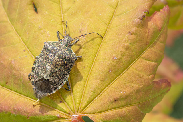 brown marmorated stink bug courtesy wsu matt ziegler.jpg - WSU studies tiny Samurai wasp in war vs. stink bug
