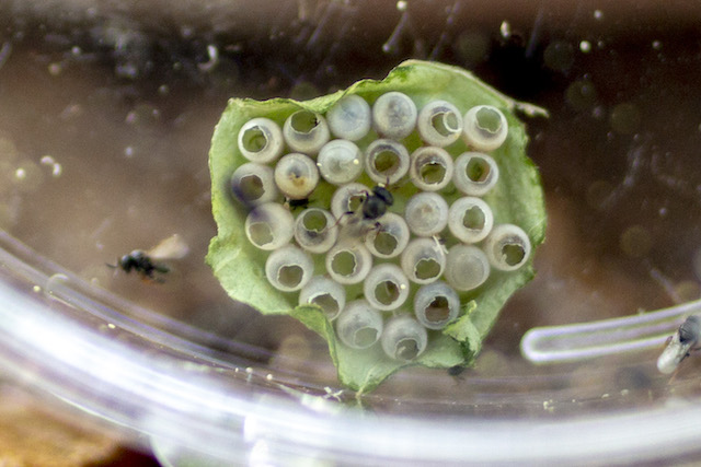 stink-bug-eggs-samurai-wasp-photo-courtesy-wsu-matt-ziegler