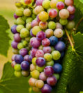 veraison washington vineyards 8 12 14 120x134 - 2018 heat units tracking near 2014 vintage for Northwest wine