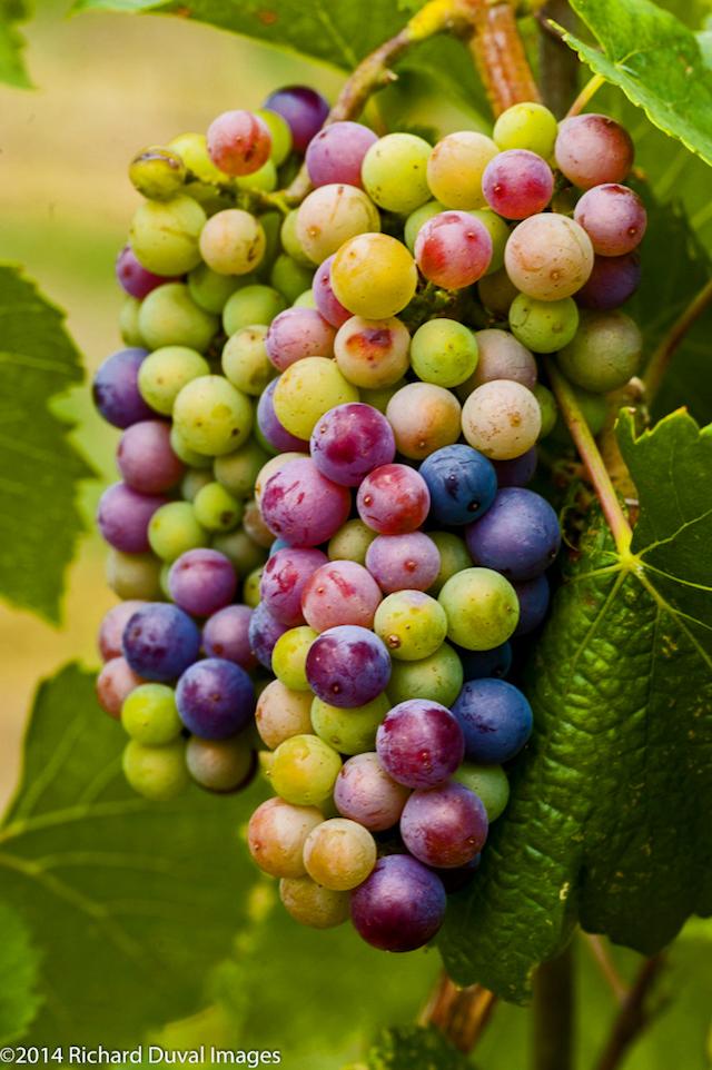 veraison washington vineyards 8 12 14 - 2018 heat units tracking near 2014 vintage for Northwest wine