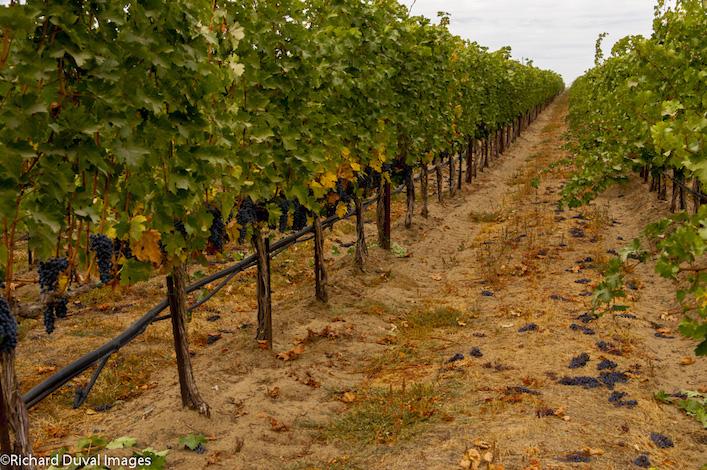 conner lee vineyard 10 12 12 3940 - Josh Lawrence, Tom Merkle team up to buy Conner Lee Vineyard