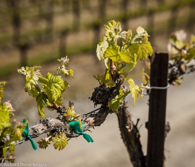 budbreak 04 28 19 - 2019 vintage off to warm start in Northwest vineyards