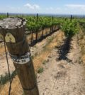 two gun vineyard june 2019 120x134 - Northwest vineyards track along 2017 vintage after cool July