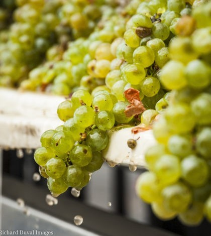 white grapes crush 2018 harvest 420x470 - 'Slow and steady harvest' forecast for Northwest grapes in 2019
