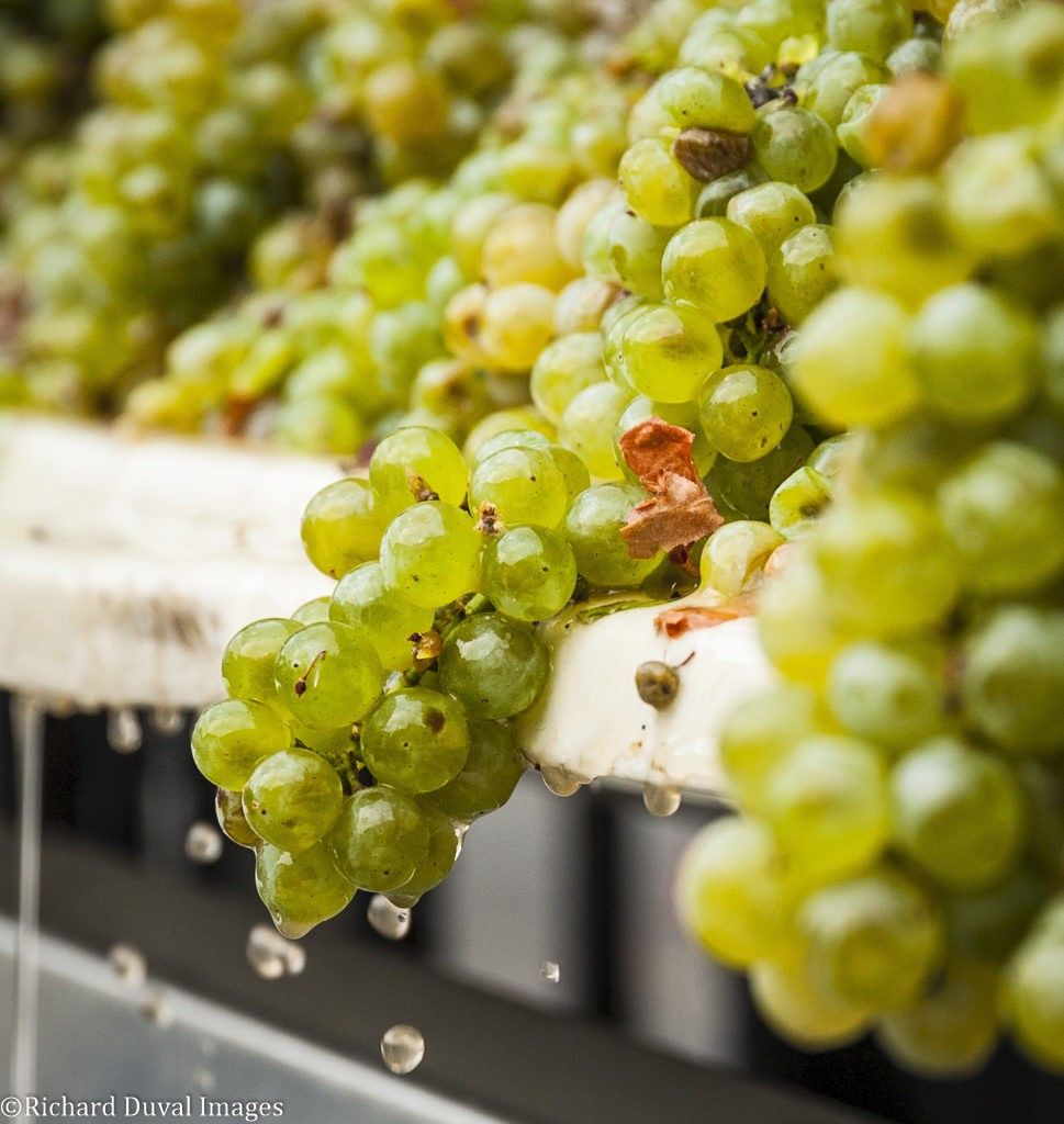 white grapes crush 2018 harvest 969x1024 - 'Slow and steady harvest' forecast for Northwest grapes in 2019