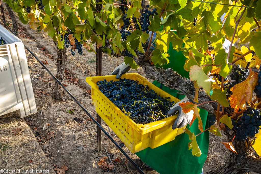 boushey vineyard syrah 09 25 19 7934 1024x681 - VineLines Dispatch coverage of 2019 vintage continues