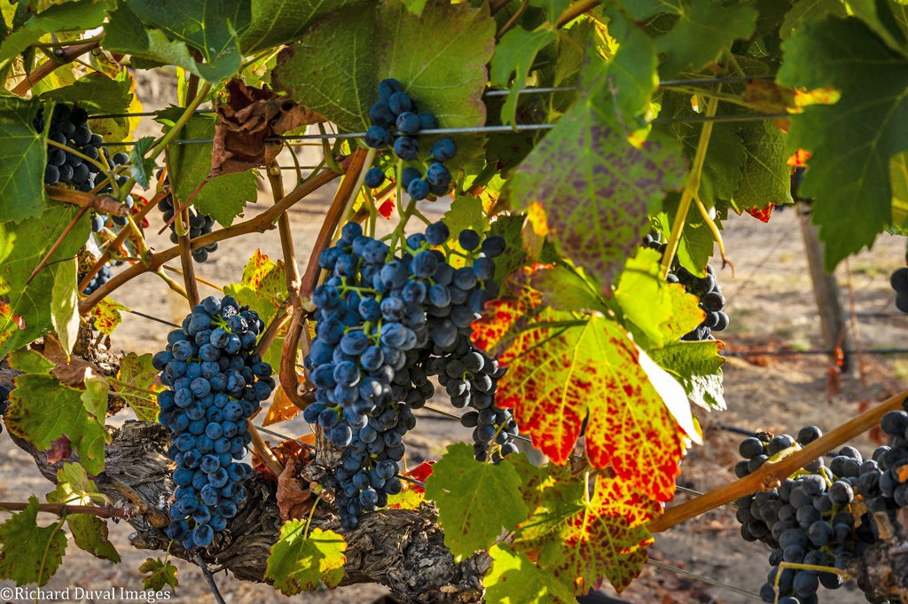 boushey vineyard syrah on vine 09 25 19 7952 2 1024x681 - VineLines Dispatch coverage of 2019 vintage continues