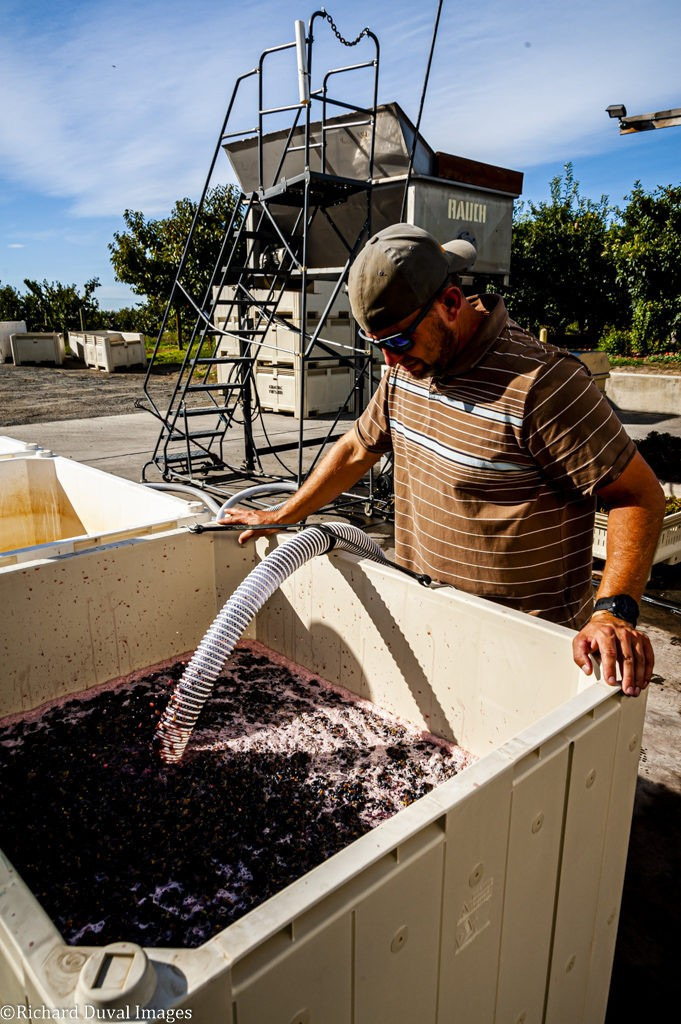 matt rawn tempranillo two mountain vineyards 09 24 19 7027 681x1024 - VineLines Dispatch coverage of 2019 vintage continues
