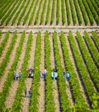 stillwater creek vineyard picking crew rows 09 23 19 5454 199x223 - Early freeze, drop in demand lead to smallest harvest for Washington wine since 2012