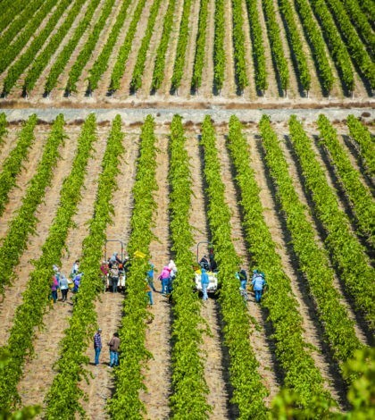 stillwater creek vineyard picking crew rows 09 23 19 5454 420x470 - Early freeze, drop in demand lead to smallest harvest for Washington wine since 2012