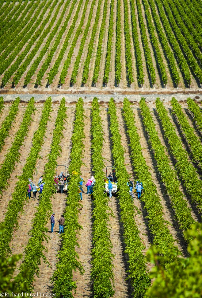 stillwater creek vineyard picking crew rows 09 23 19 5454 - VineLines Dispatch coverage of 2019 vintage continues