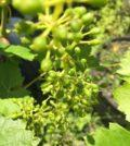 fruit set sultana columbia valley 06 17 20 120x134 - Southern Oregon starts June ahead of historically hot 2015 vintage