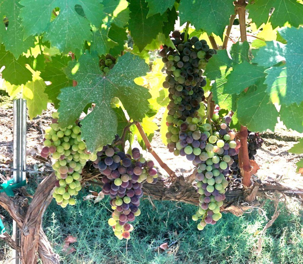 skyfall vineyard dolcetto veraison 07 30 2020 richard duval images 1024x894 - 2020 vintage for Northwest tracks dry, warm but not hot