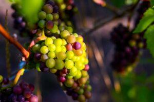 Harvest i5ydLu.tmp  300x199 - Harvest Vineyard & Winemaker Tour