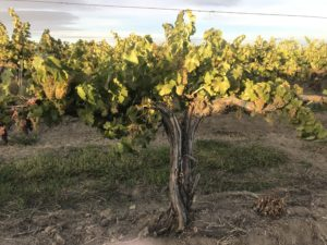OLD VINE 3 scaled kTnpCu.tmp  300x225 - Cedergreen Cellars Library Wine and Frizzante' – special tasting event