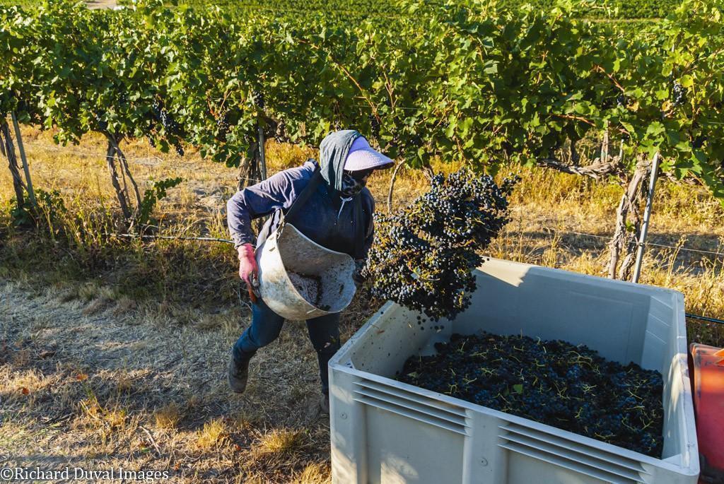 bin dump syrah seven hills vineyard 09 08 2020 1 - VineLines Dispatch: Harvest of Walla Walla Valley