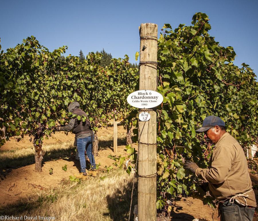 celilo vineyard 1983 wente clone chardonnay 10 06 20 5893 richard duval images - VineLines Dispatch: A Gorgeous look at harvest