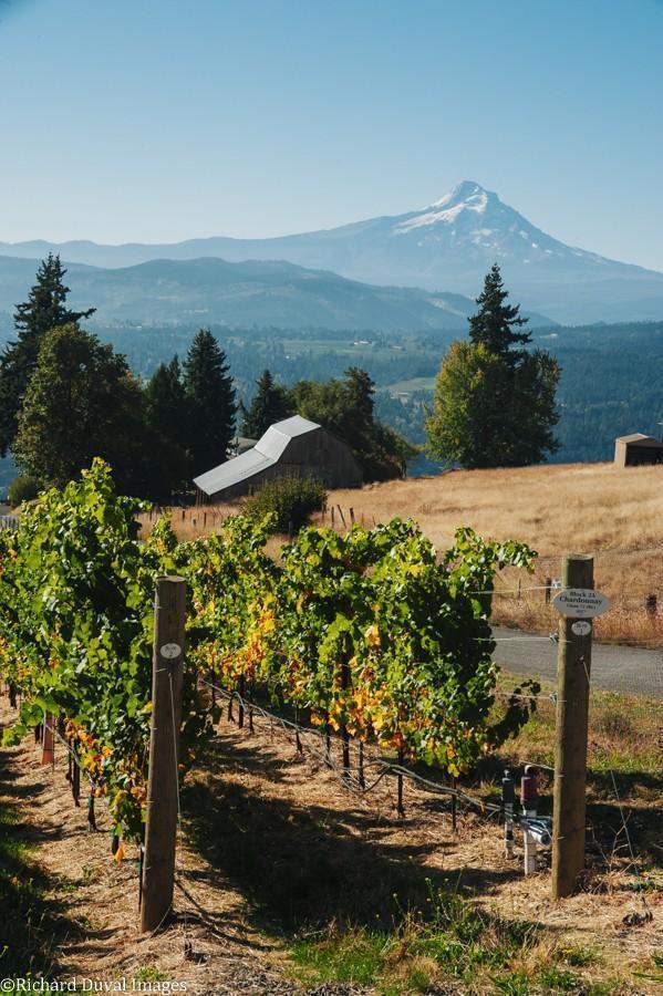celilo vineyard block 2A chardonnay 10 06 20 5777 richard duval images - VineLines Dispatch: A Gorgeous look at harvest