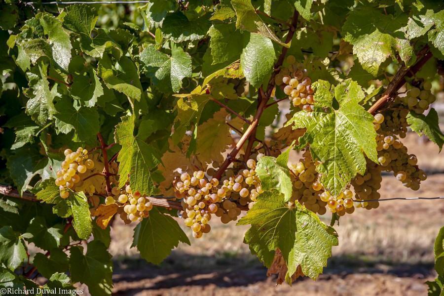 celilo vineyard chardonnay 10 06 20 5881 richard duval images - VineLines Dispatch: A Gorgeous look at harvest