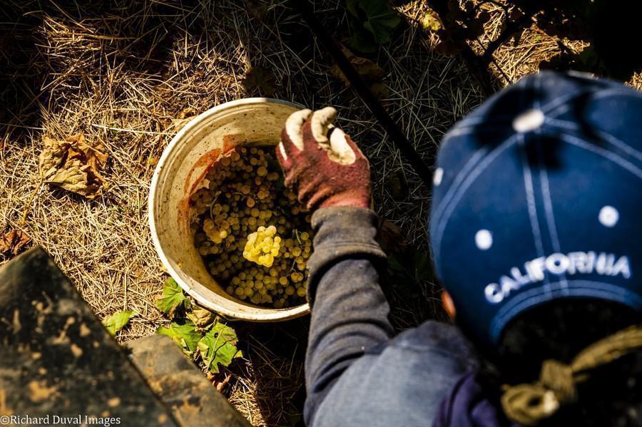 celilo vineyard hand harvesting 10 05 20 4624 richard duval images - VineLines Dispatch: A Gorgeous look at harvest