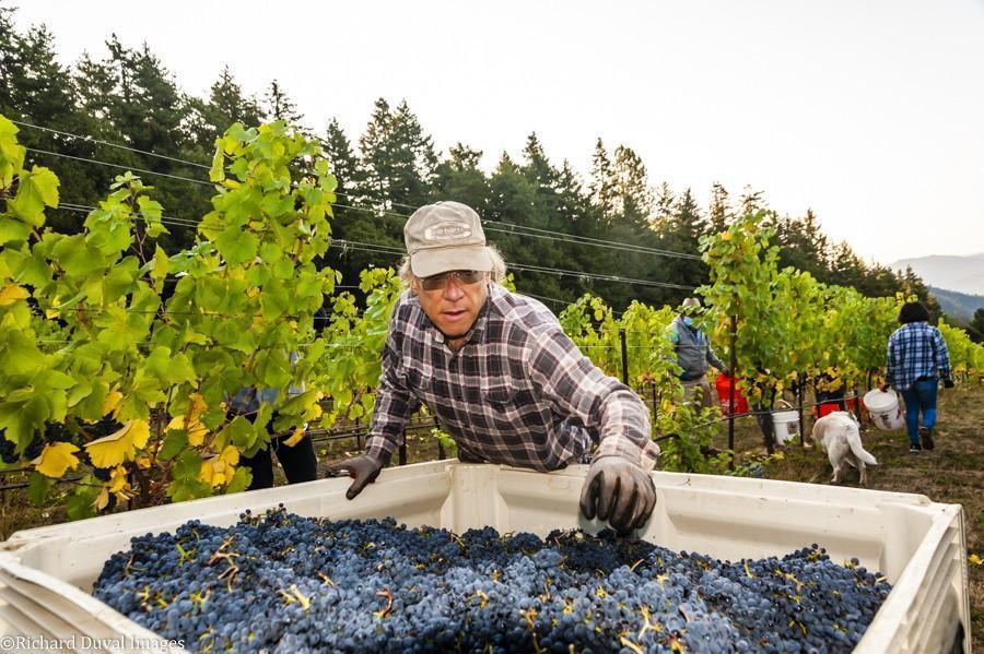 larry singer rainmaker vineyard pinot noir 10 07 20 6350 richard duval images - VineLines Dispatch: A Gorgeous look at harvest