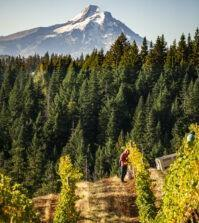 mt hood looms over phelps creek richard duval images 199x223 - VineLines Dispatch: A Gorgeous look at harvest
