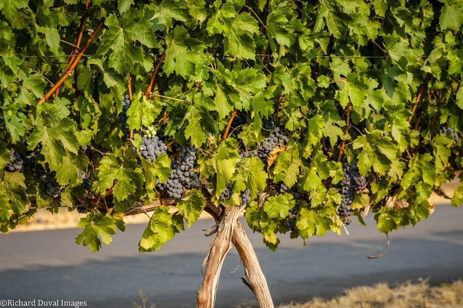 northstar vineyard merlot hanging 09 05 2020 - VineLines Dispatch: Harvest of Walla Walla Valley