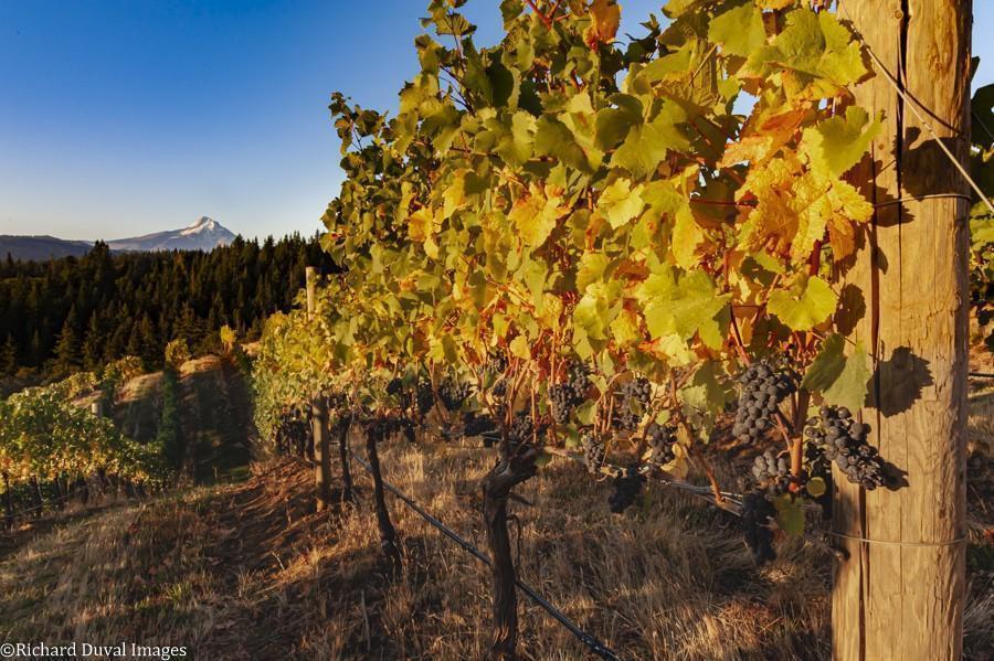 phelps creek vineyard pinot noir 10 06 20 5054 richard duval images jpg - VineLines Dispatch: A Gorgeous look at harvest