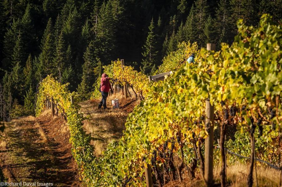 phelps creek vineyard pinot noir 10 06 20 richard duval images - VineLines Dispatch: A Gorgeous look at harvest