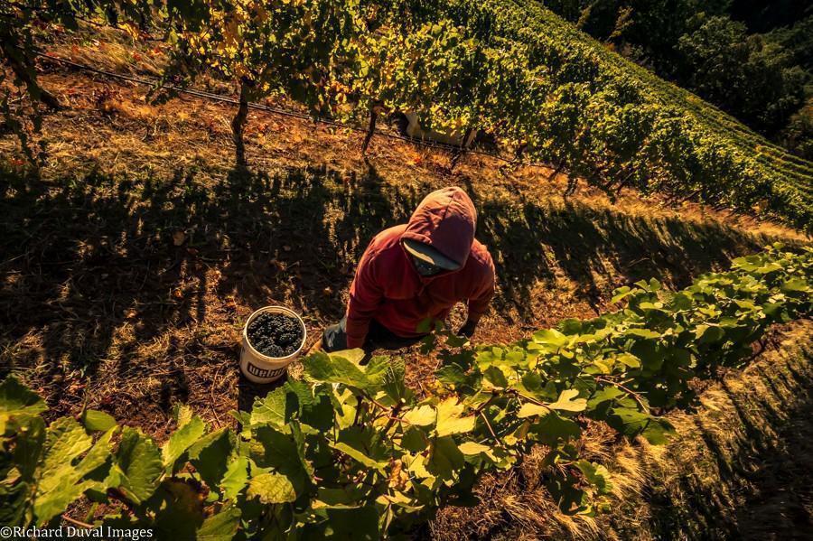 phelps creek vineyard pinot noir harvest overhead 10 06 20 5568 richard duval images - VineLines Dispatch: A Gorgeous look at harvest