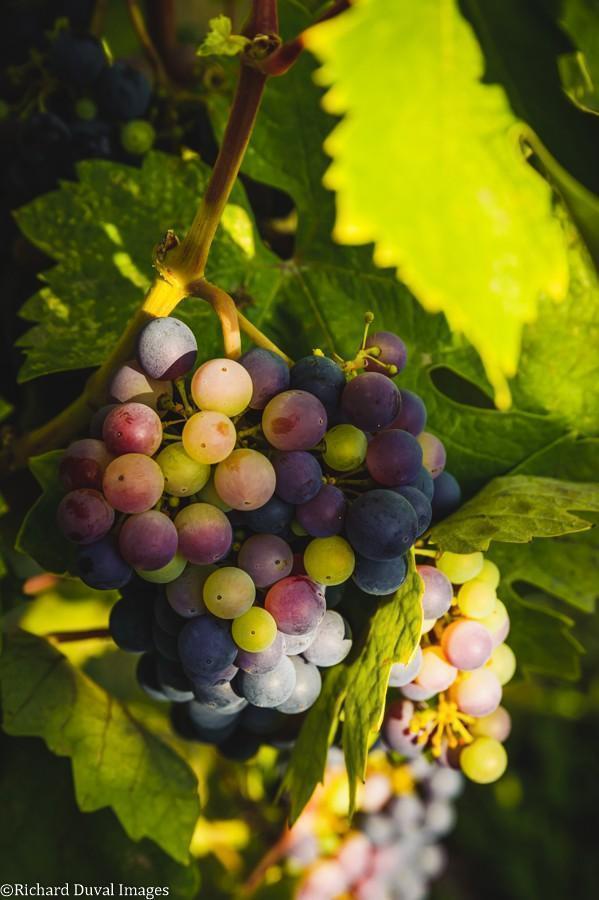 pinot noir veraison breezy slope vineyard 09 06 2020 - VineLines Dispatch: Harvest of Walla Walla Valley
