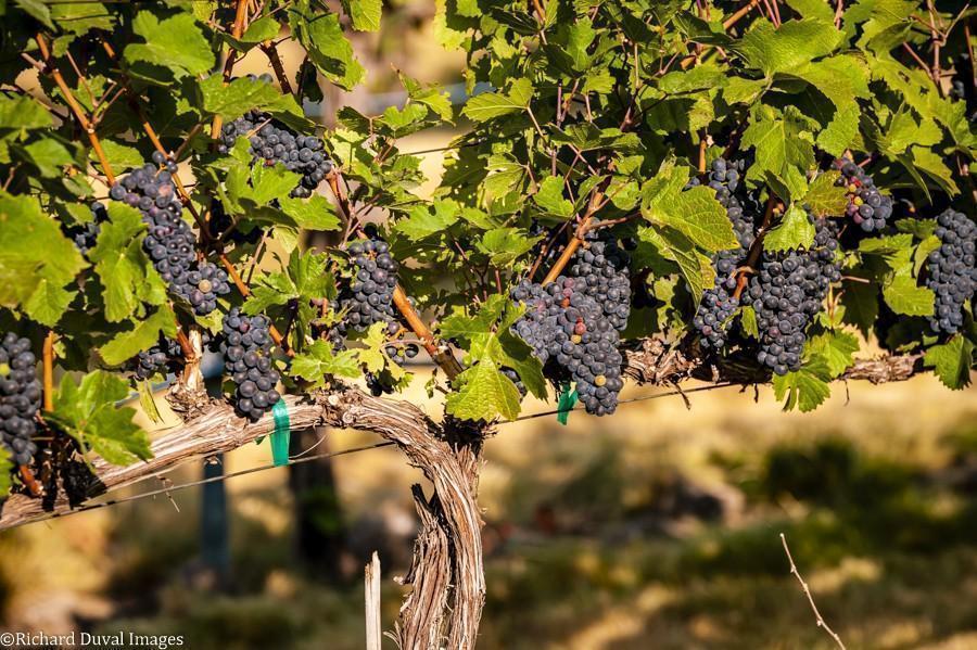 primitivo les collines vineyard 09 06 2020 - VineLines Dispatch: Harvest of Walla Walla Valley