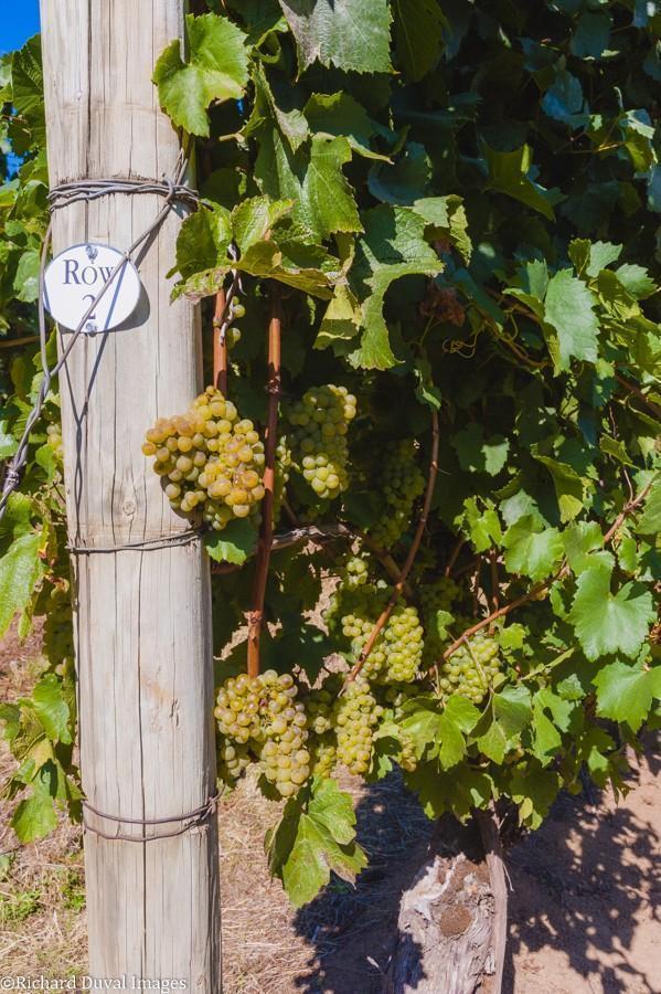 row 2 chardonnay celilo vineyard 10 05 20 4520 richard duval images - VineLines Dispatch: A Gorgeous look at harvest